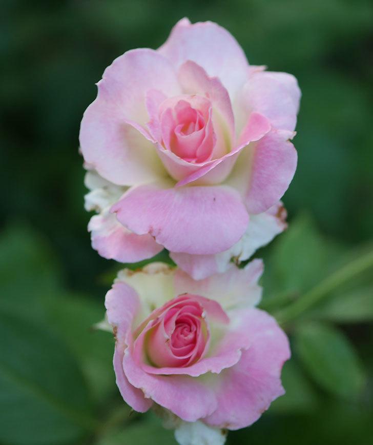マチルダ(木立バラ)の2番花が咲いた。2018年-2.jpg