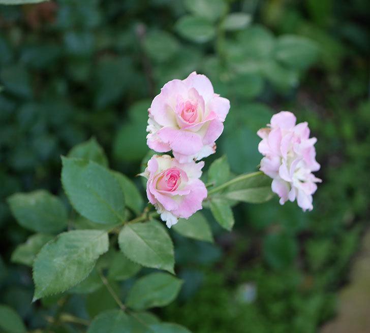 マチルダ(木立バラ)の2番花が咲いた。2018年-4.jpg