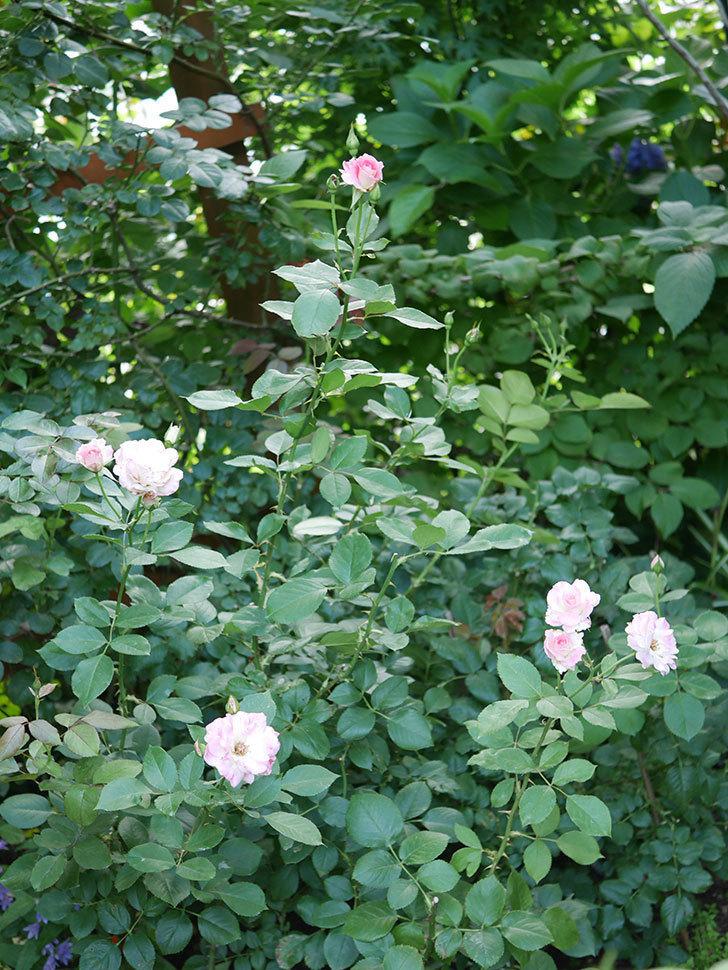 マチルダ(木立バラ)の2番花が咲いた。2018年-5.jpg