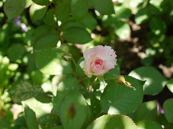 マチルダ(木立バラ)の2番花が咲き出した。2016年-4.jpg