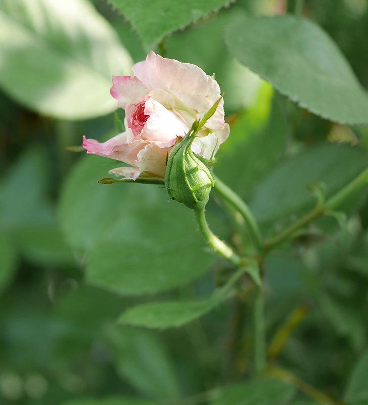 マチルダ(木立バラ)の2番花が少し咲いた。2019年-5.jpg