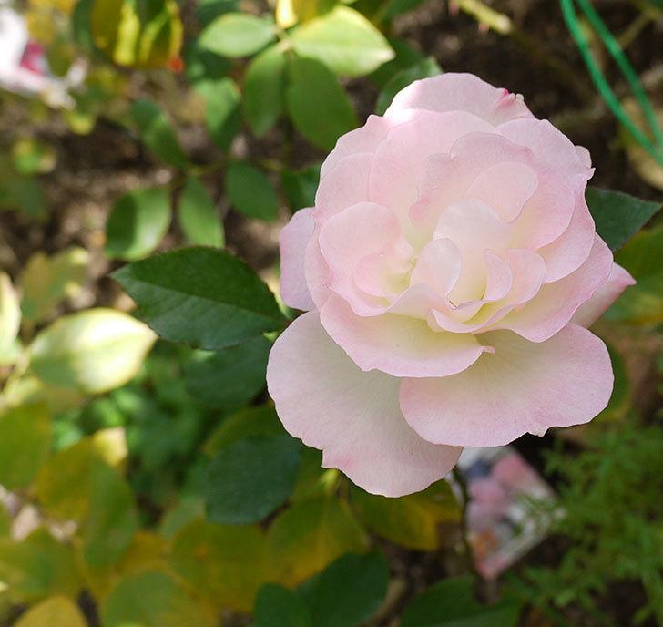 マチルダ(木立バラ)の今年最後の花が綺麗に咲いた。2016年-1.jpg