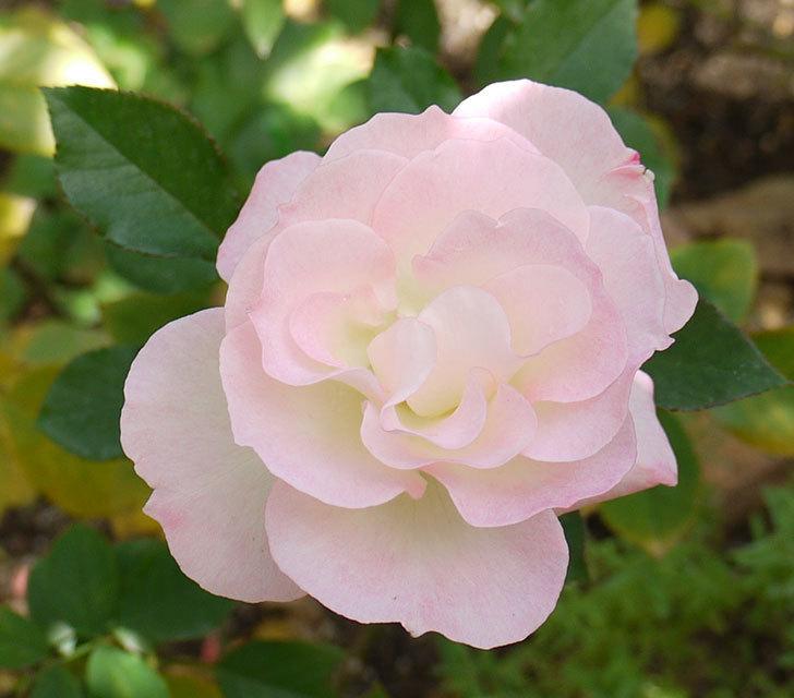 マチルダ(木立バラ)の今年最後の花が綺麗に咲いた。2016年-2.jpg