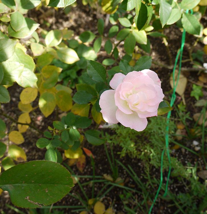 マチルダ(木立バラ)の今年最後の花が綺麗に咲いた。2016年-3.jpg