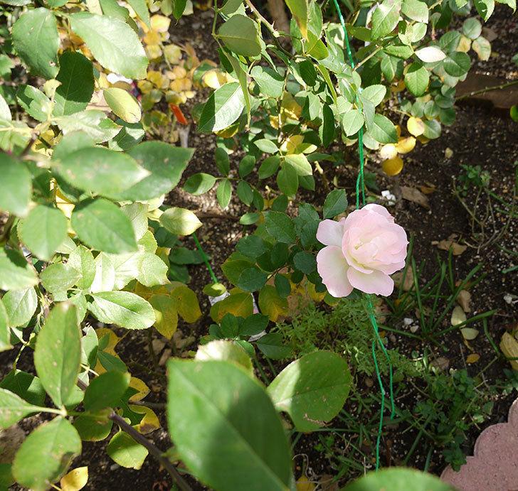 マチルダ(木立バラ)の今年最後の花が綺麗に咲いた。2016年-4.jpg
