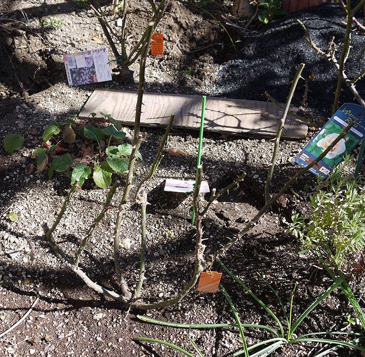 マチルダ(木立バラ)の冬剪定をした。2017年-1.jpg