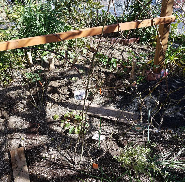 マチルダ(木立バラ)の冬剪定をした。2017年-2.jpg
