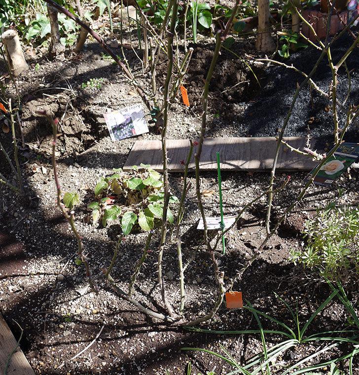 マチルダ(木立バラ)の冬剪定をした。2017年-3.jpg