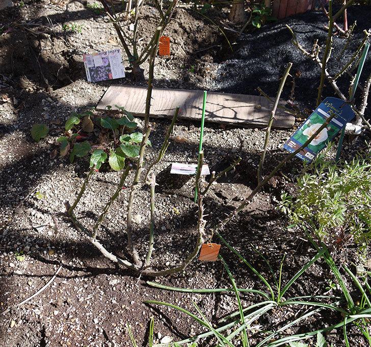 マチルダ(木立バラ)の冬剪定をした。2017年-4.jpg