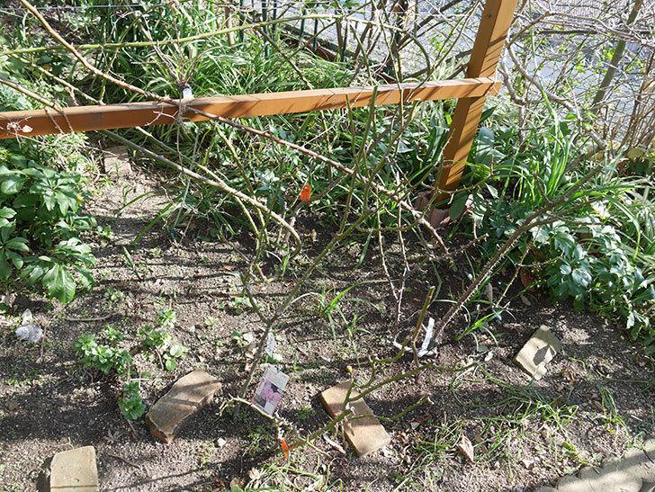 マチルダ(木立バラ)の冬剪定をした。2020年-2.jpg