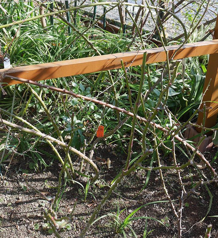 マチルダ(木立バラ)の冬剪定をした。2020年-3.jpg
