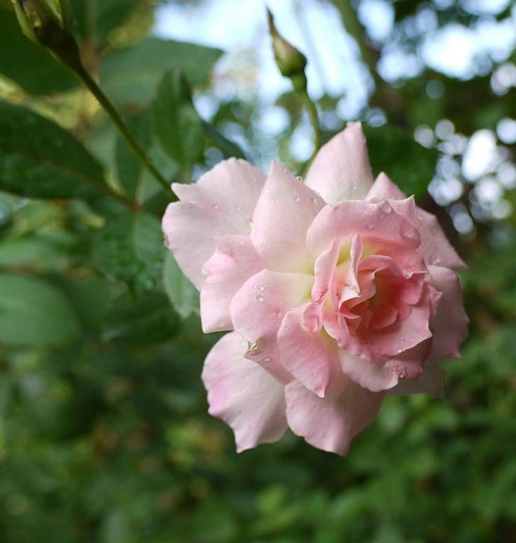 マチルダ(木立バラ)の秋花が咲いた。2016年-1.jpg