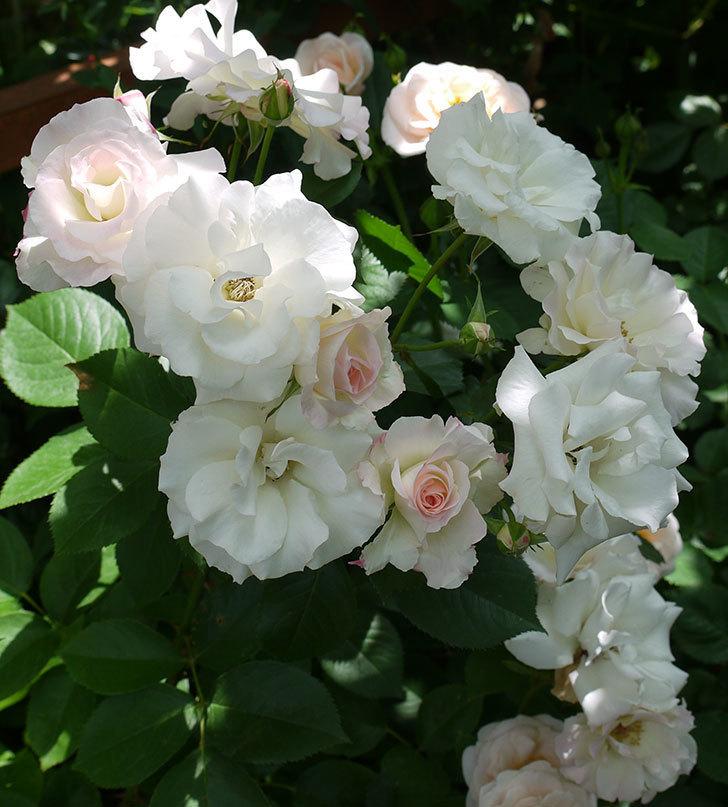 マチルダ(木立バラ)の花がたくさん咲いた。2017年-4.jpg