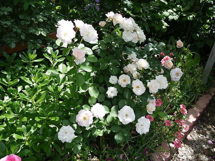 マチルダ(木立バラ)の花がたくさん咲いた。2017年-6.jpg