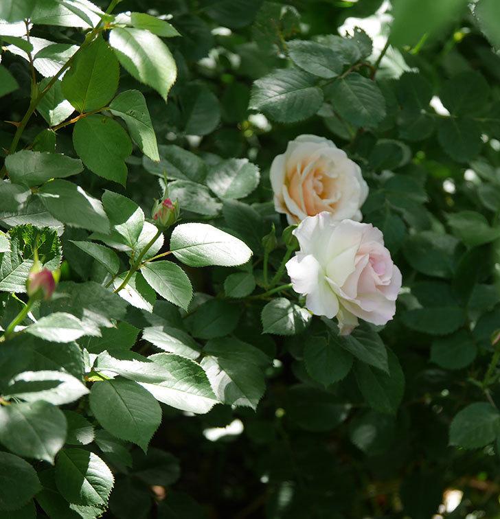 マチルダ(木立バラ)の花が咲いた。2018年-11.jpg