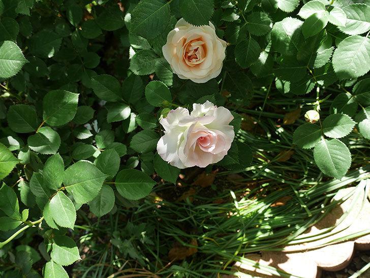 マチルダ(木立バラ)の花が咲いた。2018年-2.jpg