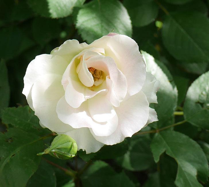 マチルダ(木立バラ)の花が咲いた。2018年-5.jpg