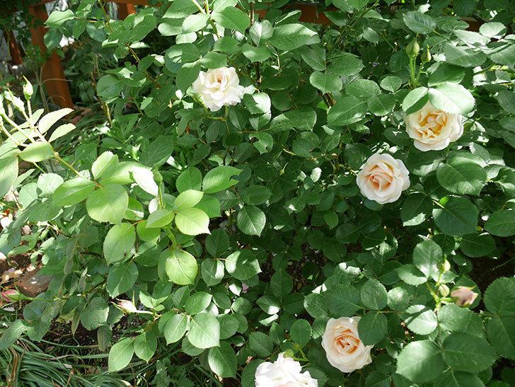 マチルダ(木立バラ)の花が咲いた。2018年-6.jpg