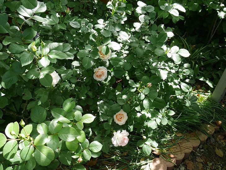 マチルダ(木立バラ)の花が咲いた。2018年-7.jpg