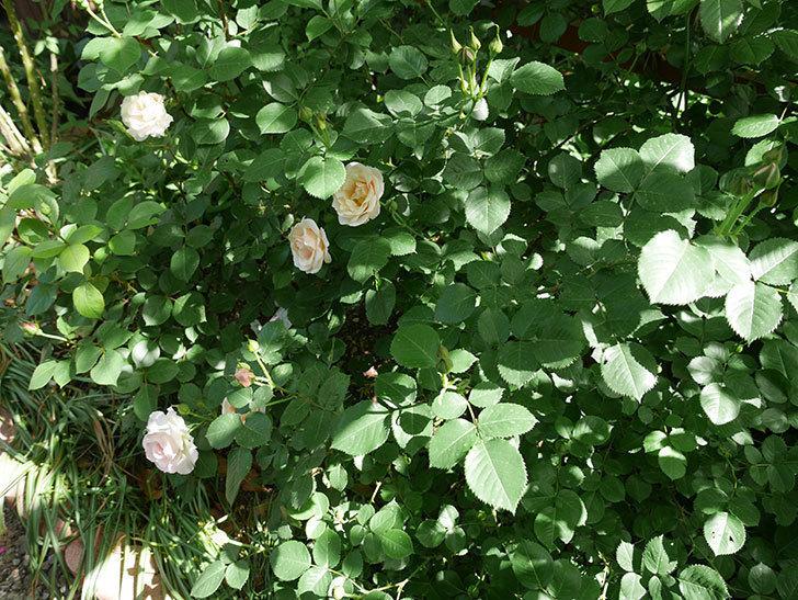 マチルダ(木立バラ)の花が咲いた。2018年-8.jpg