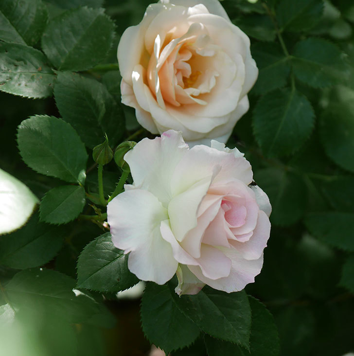 マチルダ(木立バラ)の花が咲いた。2018年-9.jpg