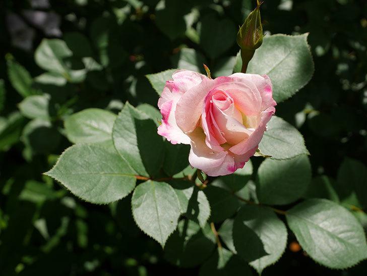マチルダ(木立バラ)の花が咲いた。2019年-1.jpg