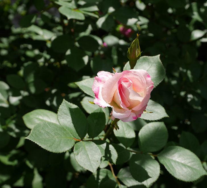 マチルダ(木立バラ)の花が咲いた。2019年-5.jpg