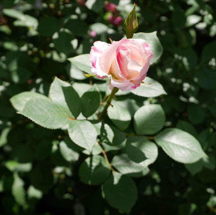 マチルダ(木立バラ)の花が咲いた。2019年-6.jpg