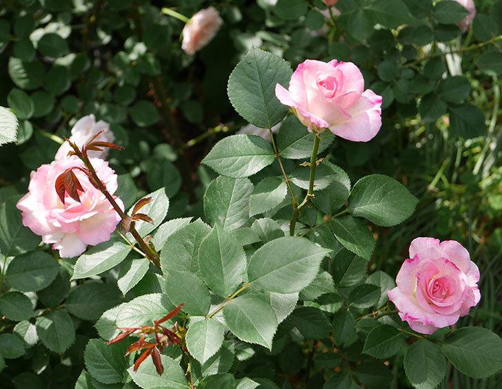 マチルダ(木立バラ)の花が増えて来た。2019年-1.jpg