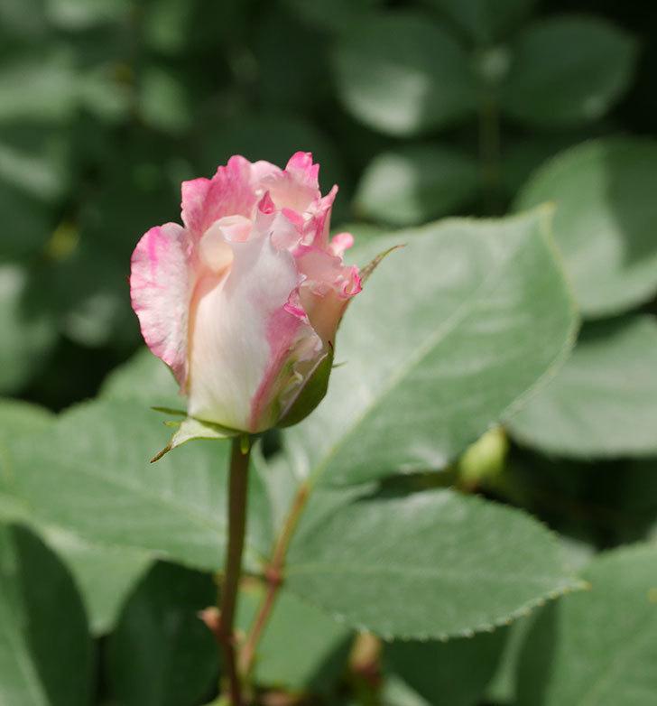 マチルダ(木立バラ)の花が増えて来た。2019年-5.jpg