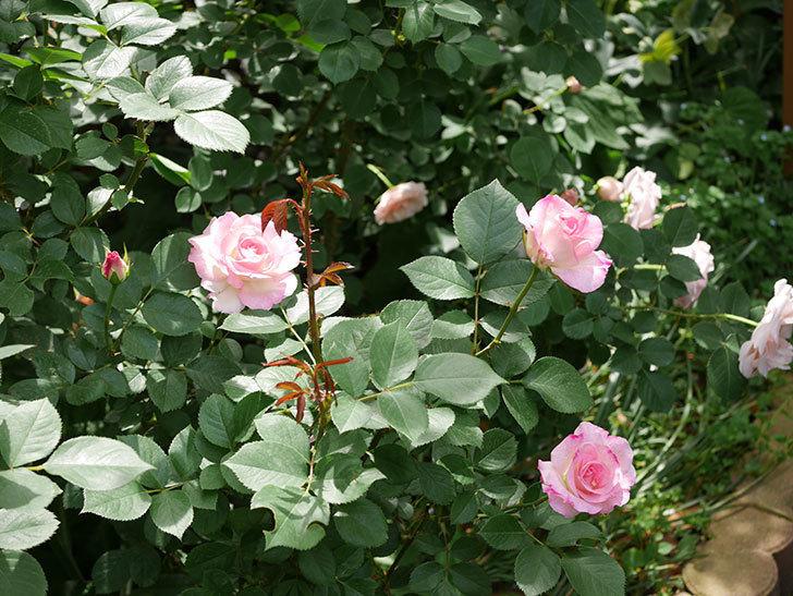 マチルダ(木立バラ)の花が増えて来た。2019年-6.jpg