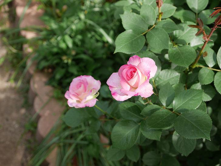 マチルダ(木立バラ)の花が増えて来た。2019年-7.jpg