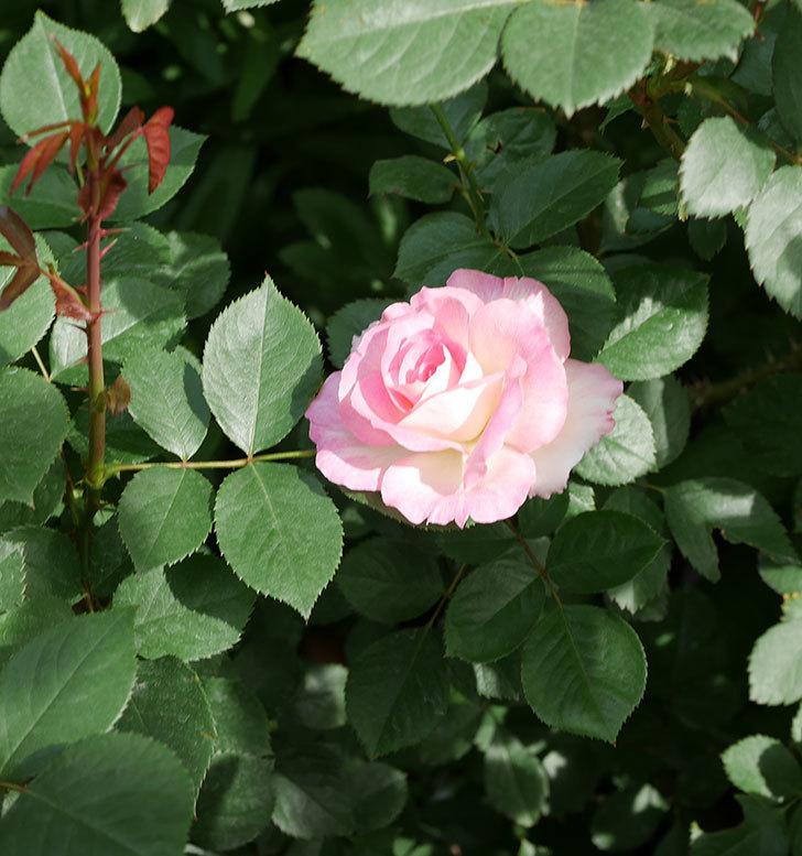 マチルダ(木立バラ)の花が増えて来た。2019年-9.jpg