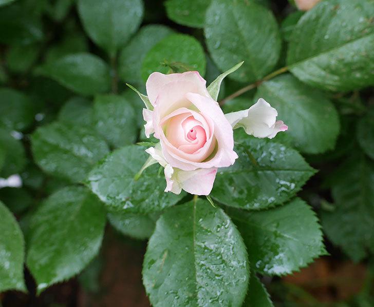 マチルダ(木立バラ)の花が少し咲いた。2018年-1.jpg