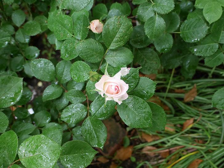 マチルダ(木立バラ)の花が少し咲いた。2018年-2.jpg