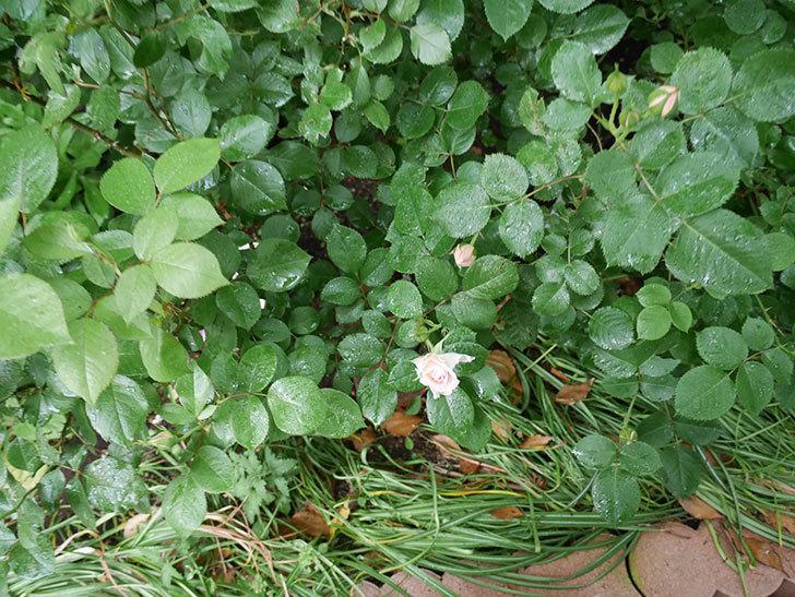 マチルダ(木立バラ)の花が少し咲いた。2018年-3.jpg