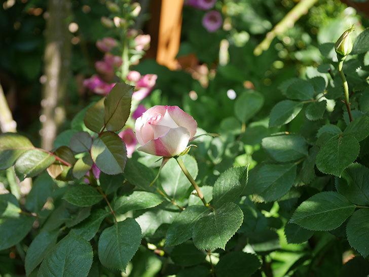 マチルダ(木立バラ)の花が少し咲いた。2020年-2.jpg