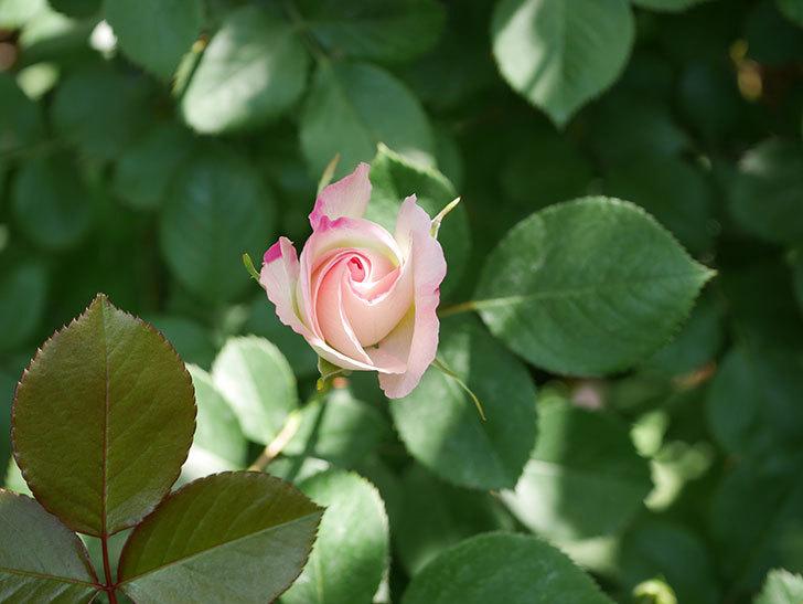 マチルダ(木立バラ)の花が少し咲いた。2020年-5.jpg