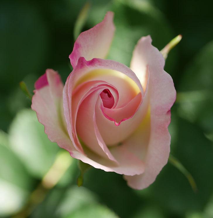 マチルダ(木立バラ)の花が少し咲いた。2020年-6.jpg