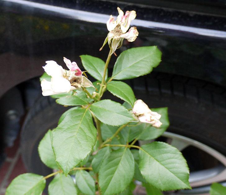 マチルダ(木立バラ)の花の終わった開花株買って来た。2016年-2.jpg
