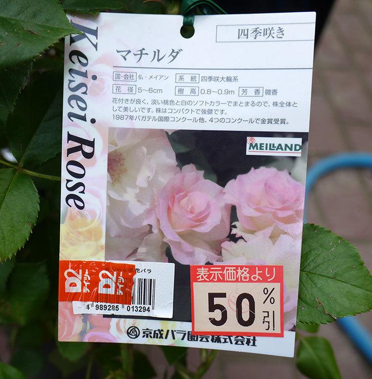 マチルダ(木立バラ)の花の終わった開花株買って来た。2016年-5.jpg