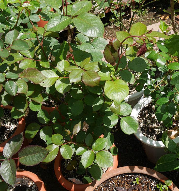 マチルダ(木立バラ)の蕾付の新枝5がバラクキバチにやられていた。2019年-2.jpg