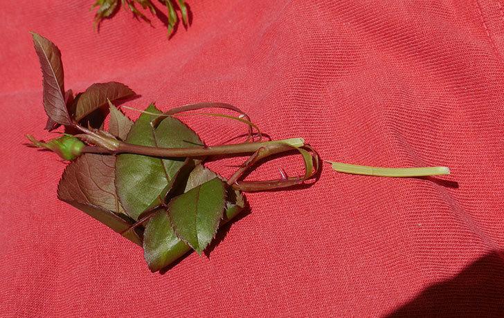 マチルダ(木立バラ)の蕾付の新枝5がバラクキバチにやられていた。2019年-3.jpg