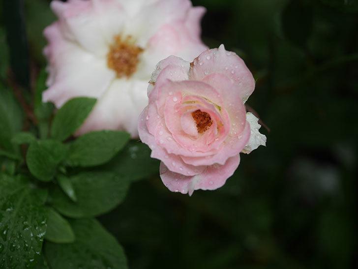 マチルダ(Matilda)の2番花が3個咲いた。木立バラ。2020年-001.jpg