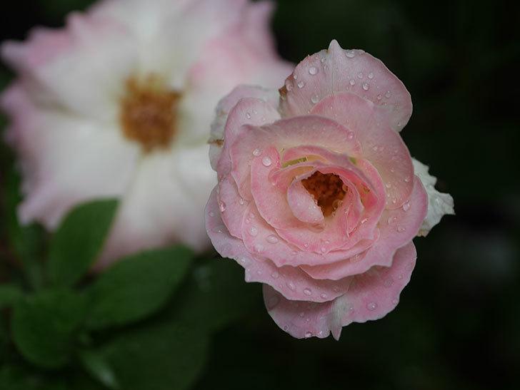 マチルダ(Matilda)の2番花が3個咲いた。木立バラ。2020年-002.jpg
