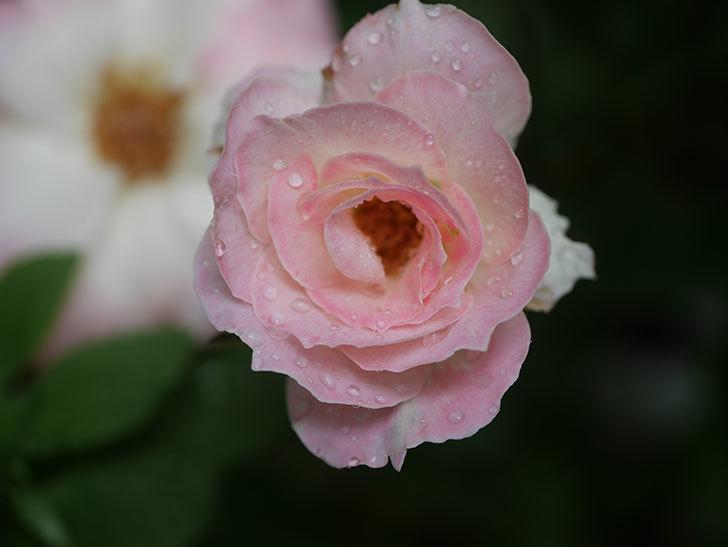 マチルダ(Matilda)の2番花が3個咲いた。木立バラ。2020年-003.jpg