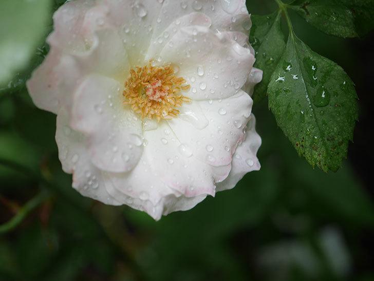 マチルダ(Matilda)の2番花が3個咲いた。木立バラ。2020年-004.jpg