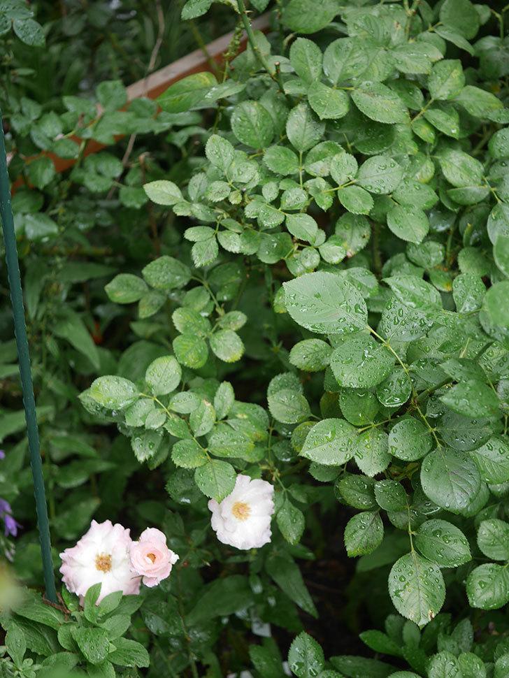 マチルダ(Matilda)の2番花が3個咲いた。木立バラ。2020年-005.jpg