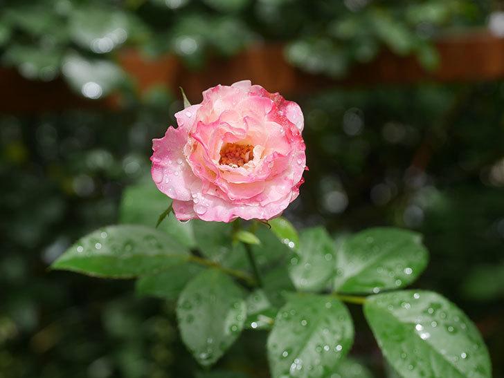 マチルダ(Matilda)の2番花がまた咲いた。木立バラ。2020年-007.jpg