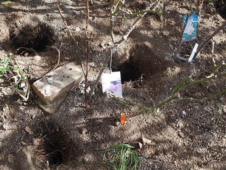 マチルダ(Matilda)の冬剪定をした。木立バラ。2021年-002 (1).jpg